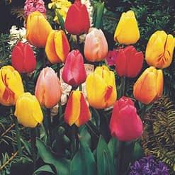 Bloembollen Tulpen Darwin Mix - 10 stuks